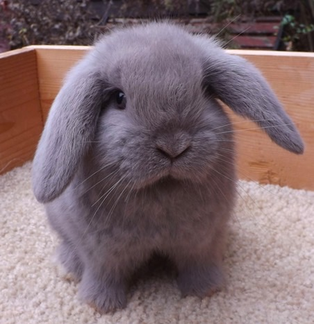 holland lop colors bunny lops